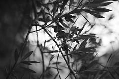 monochrome olives (SS) Tags: autumn light italy plant tree tivoli pentax bokeh olive olives lazio k5 2015 smcpentaxm50mmf17 ss stradadipomata
