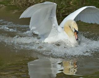 2016 04 12 169 KA Canal, nesting swans