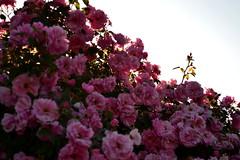 (getolina) Tags: roses botanicalgarden
