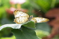 Butterfly 2016-24 (michaelramsdell1967) Tags: light brown sunlight green love nature beautiful beauty closeup butterfly garden insect leaf spring wings eyes nikon natural bokeh cincinnati butterflies insects bugs photograph zen lovely upclose happyness nky