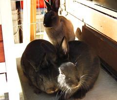 Bunnies In Sun (Anomieus) Tags: pet cute rabbit bunny bunnies animal furry konijn conejo tail ears rabbits paws coney coelho lapin kaninchen houserabbit coniglio cottontail  cony kanin  krlik leporidae nyl  iepure  leporid    kuni