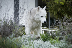 Old lady out for a walk in her garden (DenaIIi) Tags: house nature horizontal yard flora lavender greenery bushes alli