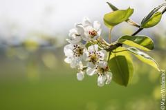 Spring fever / Frhlingsgefhle (Marc Wildenhof) Tags: flower macro tree germany deutschland spring hessen makro nahaufnahme schrfentiefe oberursel stierstadt canoneos7dmarkii