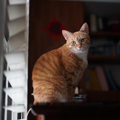 DSC09029s (lazybonessss) Tags: leica window cat momo kitten2 summicronm50 sonya7 sonyilce7