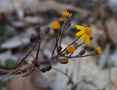 Golden Ragwort (pilechko) Tags: flowers yellow bokeh pennsylvania pa wildflowers newhope goldenragwort bowmanshill