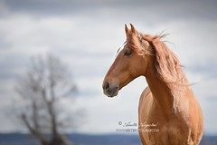 Whispers In The Wind (Hestefotograf.com) Tags: portrait horse motion beauty animal oslo norway hair caballo cheval movement wind spirit blowing headshot cavallo cavalo pferd equine mane hest paard spaniard hengst purarazaespanol equinephotography hestefotograf