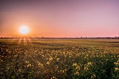 Rapsfeld (mailo mops) Tags: sun germany spring sonnenuntergang feld gelb sonne weite raps sonnenstrahlen frhling abendrot abends blhen rdersdorf schneiche sonyalpha77ii