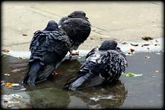 DIY bird bath (* RICHARD M) Tags: street nature wet water birds puddle birdbath wildlife pigeons ornithology southport merseyside sefton columba columbidae ruffledfeathers feralpigeons citypigeons columbaliviadomestica citydoves streetpigeons