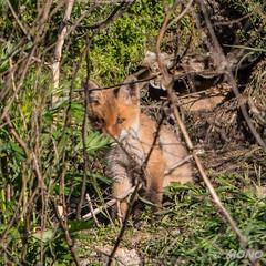 FoxSBahn-0207.jpg (mono-foto) Tags: wien tiere fuchs säugetiere