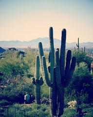 Saguaro (France-) Tags: arizona cactus usa nature montagne plante saguaro mesa 87 etatsunis