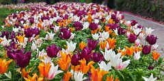 I Giardini di Castel Trauttmansdorff (amos.locati) Tags: flowers nature fleurs italia flor di amos castel giardini merano flori locati i trauttmansdorff