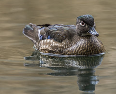 _DSC8050-Edit (doug.metcalfe1) Tags: ontario bird nature duck spring highpark outdoor woodduck 2016 dougmetcalfe