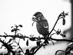 ... y ... (Luicabe) Tags: naturaleza planta blancoynegro animal exterior zoom ngc ave luis zamora cabello pjaro gorrin profundidaddecampo airelibre monocromtico piracanta yarat1 enazamorado luicabe