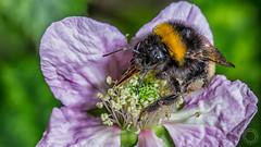 Bumblebee  IMG_9310_1 (fredpiv) Tags: macro closeup canon bumblebee bourdon tamronsp90mm 60d canon60d canonfrance canoneos60d naturalinsect tamronsp90mmf28divcusdmacro11 insectesnaturels