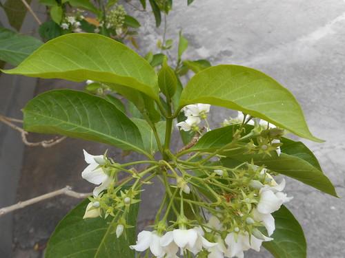 Vallaris glabra (L.) Kuntze Apocynaceae-bread flower, ชมนาด
