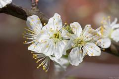 20160416-IMG_4484.jpg (btysoe) Tags: flower garden blossom plumtree