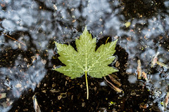 Leaf (BDermott97) Tags: reflection nature puddle leaf raindrops waterdrops
