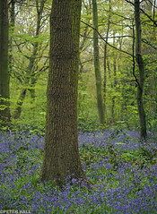 Blue Woods (peterphotographic) Tags: park wood uk blue england flower tree london nature field forest prime dof bokeh britain olympus depthoffield trunk f18 wansteadpark wanstead bluebell depth eastlondon microfourthirds peterhall em5mk2 p4220913edwm