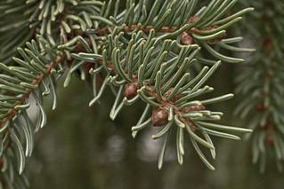 Pine Tree CU _3897