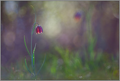 elegance (seozzy) Tags: flower macro spring karst trieste carso elegance fritillaria