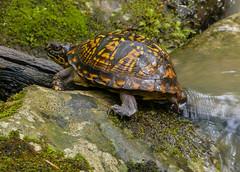 Box Turtle (Terrapene carolina) (Karen&Guy) Tags: kentucky ky boxturtle terrapenecarolina