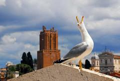 The Cry of the Gull (Rickydavid) Tags: rome roma gull cry gabbiano verso vittoriano torrependente grido torredellemilizie torredinerone chiesadeisantidomenicoesisto