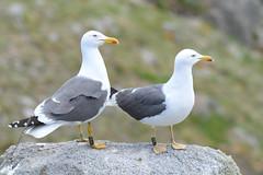 Lesser Black-backed Gull (Larus fuscus) (grubby1949) Tags: sea cliff gull larusfuscus lesserblackbacked