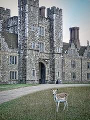 Fallow deer graze the grounds at Knole House in Sevenoaks, Kent, England (mharrsch) Tags: park england house castle architecture kent estate realestate royal palace tudor deer mansion fallowdeer nationaltrust sackville sevenoaks knolehouse countryestate mharrsch