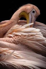Eastern white pelican (herbal tree) Tags: city pink portrait white macro bird nature edinburgh wildlife feathers pelican captive eastern edinburghzoo