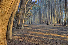 A Path Through Forest at Sunset (fcphoto) Tags: california park trees sunset tree nature lines forest hiking path cypress pacifica fcphoto