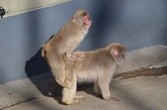 (NoMoTo / maanya) Tags: japanese macaque japanesemacaque