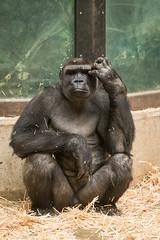 2016-01-16-12h37m45.BL7R6759 (A.J. Haverkamp) Tags: amsterdam zoo gorilla thenetherlands artis dierentuin shomari canonef70200mmf28lisusmlens httpwwwartisnl dob12072007 pobamsterdamthenetherlands