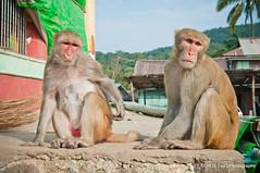 Mount Popa Monkeys (Tay   Photography) Tags: temple monkey photo near burma culture wanderlust mount myanmar popa spiritual burmese mandalay bagan taung kalat kyaukpadaung tayphotography mountpopamonkey southeastasiaimage