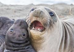 Whispering Sweet Nuthin's. (kikapookid) Tags: california usa elephant mammal location seal animalia hwy1 2016 arroyolaguna sanluisobispoco