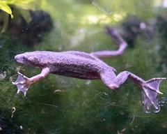 Froggie (sbluerock) Tags: africandwarffrog 3365 project365