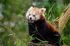 Red Panda by Mathias Appel -