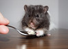 Pi (.annajane) Tags: pet cute pi hamster syrianhamster