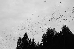 Murder in flight. Bothell, WA. February 10, 2016. (poopoorama) Tags: trees blackandwhite birds washington unitedstates murder fujifilm crows bothell xseries dannyngan tclx100 x100t dannynganphotography
