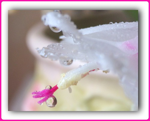 ~~ White Cactus flower with drops ~~