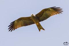 Milvus aegyptius - Yellow-billed Kite (Marc Nollet) Tags: nature birds wildlife uganda birdwatcher birdphotography natuurfotografie yellowbilledkite ouganda oeganda sigma500mm milandafrique milvusaegyptius nollet canoneos7d canon7d geelsnavelwouw
