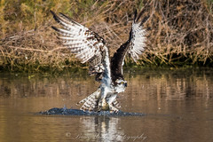 Score! (Arizphotodude) Tags: arizona fish nature water wildlife birding raptor carp osprey birdsofprey naturephotography wildlifephotography nikond750