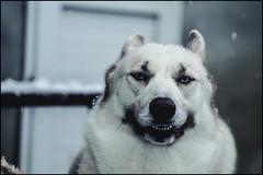 Siberian husky - Smile - Gipsy (BriceLahy) Tags: portrait dog chien france photo husky noir oeil yeux bleu neige siberian blanc gipsy traineau huskie nahla huski