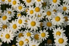 Chamaemelum fuscatum (Brot.) Vasc. (Lus Gaifm) Tags: flower macro planta nature natureza flor plantae fo chamaemelumfuscatum margaadeinverno manzanillafina lusgaifm pnlitoralnorte margaafusca pamposto manzanilladeinvierno