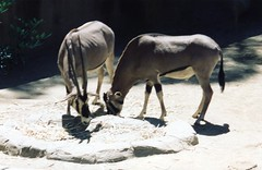 Fringe-eared Oryx (Animal People Forum) Tags: animals outside zoo outdoor antelope captive mammals oryx