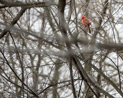 Northern Cardinal Upper Right (ralph miner) Tags: cardinal northerncardinal hawthornehill