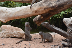 UAE - 2015-0672 (MacClure) Tags: zoo uae alain unitedarabemirates mongoose bandedmongoose