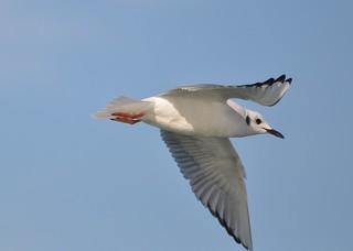Bonaparte's Gull [Explored]