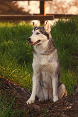 Aurora (Cruzin Canines Photography) Tags: california trees portrait dog cute dogs nature girl smile grass animal animals closeup female canon fence fur outside mammal outdoors daylight log husky pretty naturallight canine domestic telephoto siberianhusky daytime tamron bakersfield goldenhour alaskanhusky hartpark domesticanimal 5ds canon5ds eos5ds tamron28300mmf3563divcpzd canoneos5ds