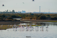 Flamencos (Roferfrann) Tags: naturaleza agua aves pajaros laguna comun flamencos salina bandada
