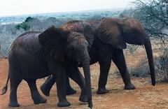 African Elephants, Tsavo, Kenya (Animal People Forum) Tags: africa wild elephant animals outside outdoors kenya african elephants mammals tsavo africanelephant freeranging